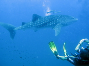 Adam and the Whale (shark)